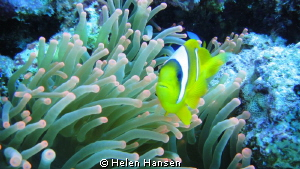 Clown Fish by Helen Hansen 